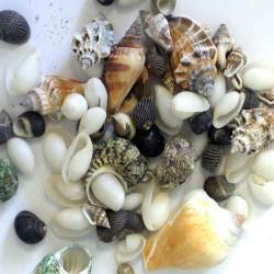 Natürliche Muscheln für maritime Deko